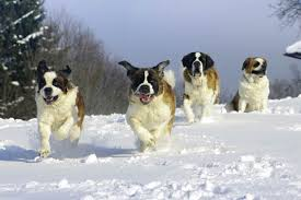 7 <b>Dog</b> Breeds That Love the Cold Weather