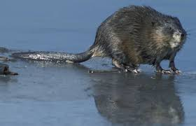 Image result for beaver rat