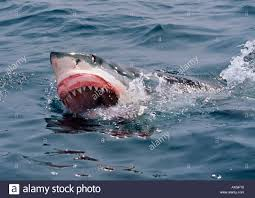 great white shark carcharodon carcharias eye rolling back and gums great white shark carcharodon carcharias eye rolling back and gums raised for protection