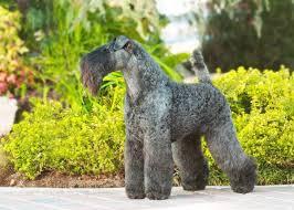 <b>Керри</b>-<b>блю</b>-<b>терьер</b>: фото собаки, цена, описание породы ...
