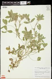SEINet Portal Network - Trifolium obscurum