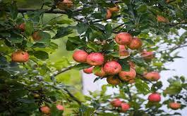 Бизнес на выращивании и переработке яблок в домашних ...