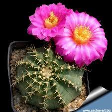 Resultado de imagen para cactus globoso