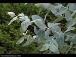 eucalyptus gum