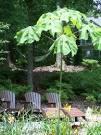 japanese varnish tree