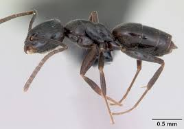 Erratic ant