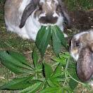 Images & Illustrations of rabbit-weed
