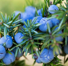 <b>Juniper</b> Berry <b>Organic Essential Oil</b> at Wholesale prices