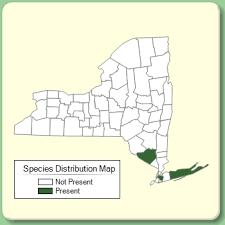 Buxus sempervirens - Species Page - NYFA: New York Flora Atlas