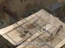 Homemade Sparrow Trap FREE Build Plans   YouTubeHomemade Sparrow Trap FREE Build Plans