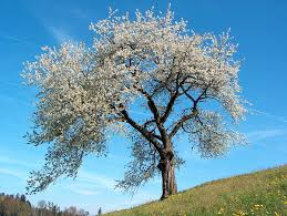 Prunus - Wikipedia