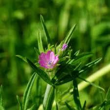 Geranium dissectum   Online Atlas of the British and Irish Flora