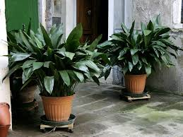 10 best indoor plants for the brisbane climate brisbane office plants
