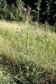 Cirsium palustre - Michigan Flora