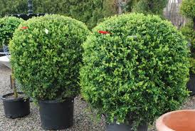 Image result for beautiful american boxwood shrubs