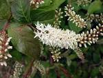 iteaceae
