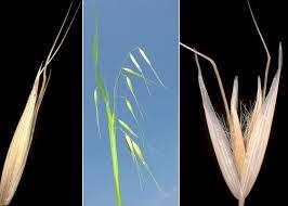 Avena fatua L. subsp. fatua - Sistema informativo sulla flora ...