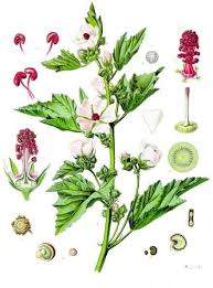 Althaea officinalis - Wikipedia