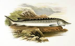 European sea sturgeon