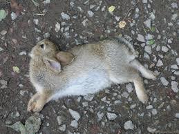 """Résultat de recherche d'images pour """"lapin mort"""""""