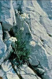 Achillea clavenae - Legge regionale 10 - Flora e piccola fauna ...