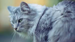Image result for gray cat