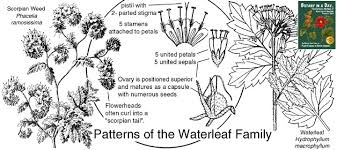 Hydrophyllaceae: Waterleaf Family. Identify plants and flowers.