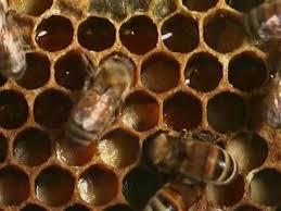 Honey <b>bees</b> - <b>Natural</b> History 1 - YouTube