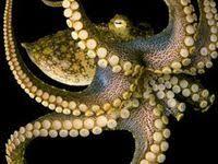 Octopus: лучшие изображения (172) | Осьминоги, Октопус и ...