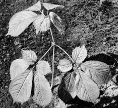 Araliaceae | plant family | Britannica.com