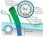 Images & Illustrations of cilium