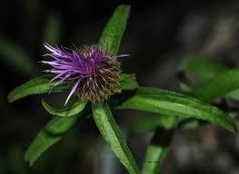 Flora alpina, centaurea. | Bruno Barbero | Flickr