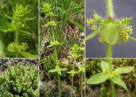 Cruciata laevipes Opiz - Portale sulla flora del basso corso del ...