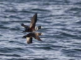 Harlequin <b>Duck</b>