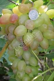 Виноград Багровый   Дача в 2019 г.   <b>Фруктовые</b> деревья, Ягоды и ...
