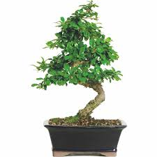 fukien tea bonsai tree bought bonsai tree