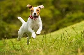 Порода собаки <b>джек</b>-<b>рассел</b>-<b>терьер</b>: характеристики, фото ...