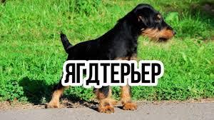Ягдтерьер - <b>охотничий пёс</b> / Интересные факты о животных ...