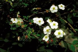 Potentilla in Flora of China @ efloras.org