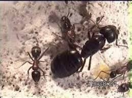 Résultats de recherche d'images pour «fourmis photo la reine»