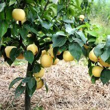 Popular Golden <b>Pear</b>-Buy Cheap Golden <b>Pear</b> lots from China ...
