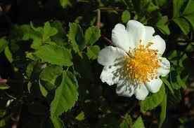 Rosa arvensis Huds. {ID 6519} - Forum Acta Plantarum