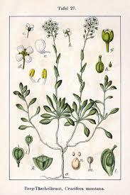 Tobołki (roślina) – Wikipedia, wolna encyklopedia
