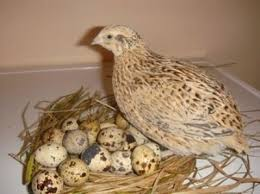 Image result for quail eggs