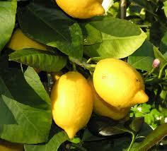 Image result for limonero imagenes