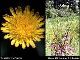 Sonchus oleraceus L.: FloraBase: Flora of Western Australia