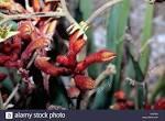 family haemodoraceae