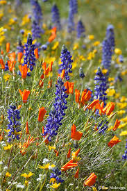 Image result for california wildflowers