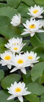 Water lilies - Lotus Flowers | <b>Цветы</b>, Кувшинки, Посадка <b>цветов</b>