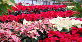 Poinsettias - Care, Maintenance and Re-Blooming - Pesche